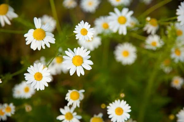 birds eye view of chamomile flowers