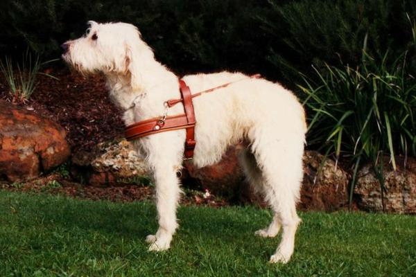 Sultan, the first ever labradoodle. (Photo: Guide Dogs Victoria)