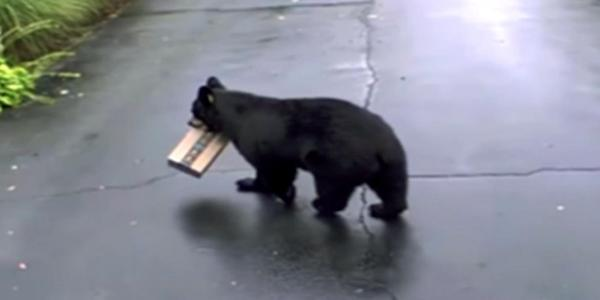 Heading for the woods: the thieving bear.