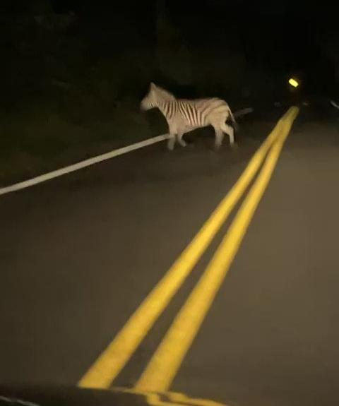 One of the zebras, spotted near Washington.