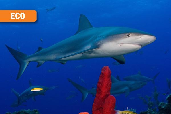 Curacao Sharks
