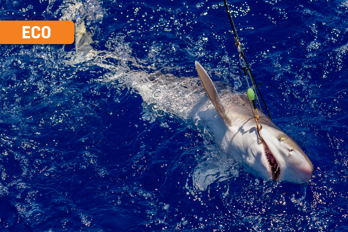 Queensland Shark Cull