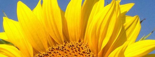 sunflower_header.jpg