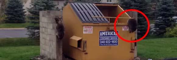 Raccoon Dumpster